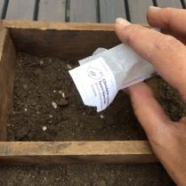 Plantation ciboulette