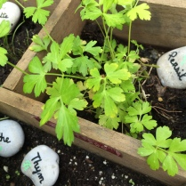 Planter herbe aromathiques