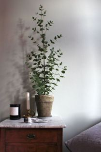 eucalyptus-en-pot